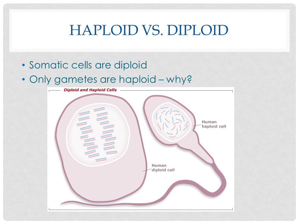 Haploid Vs. Diploid Somatic cells are diploid