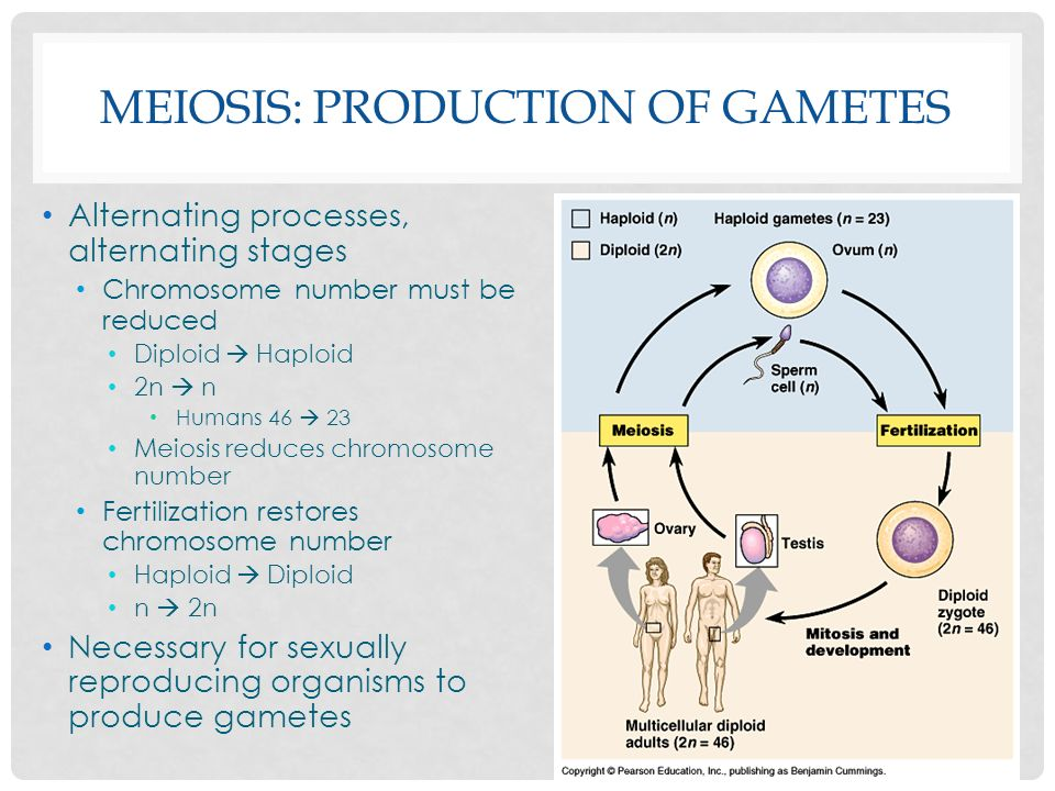 sexual life cycles meiosis ppt video online download
