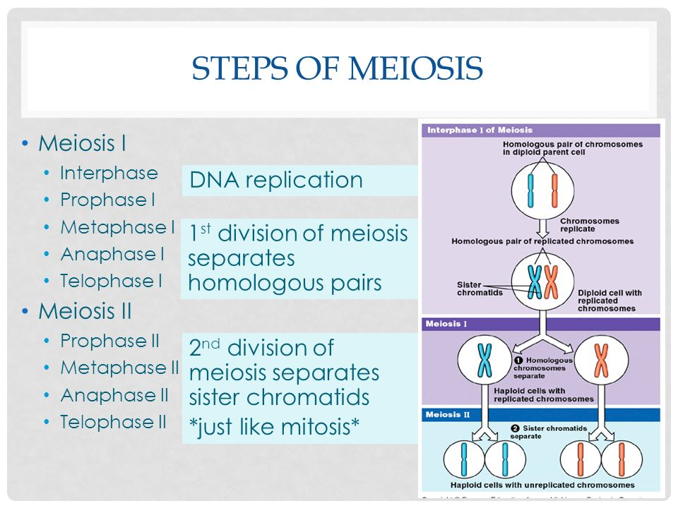 Steps of Meiosis Meiosis I DNA replication Meiosis II