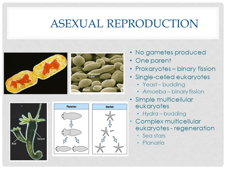 Asexual reproduction No gametes produced One parent