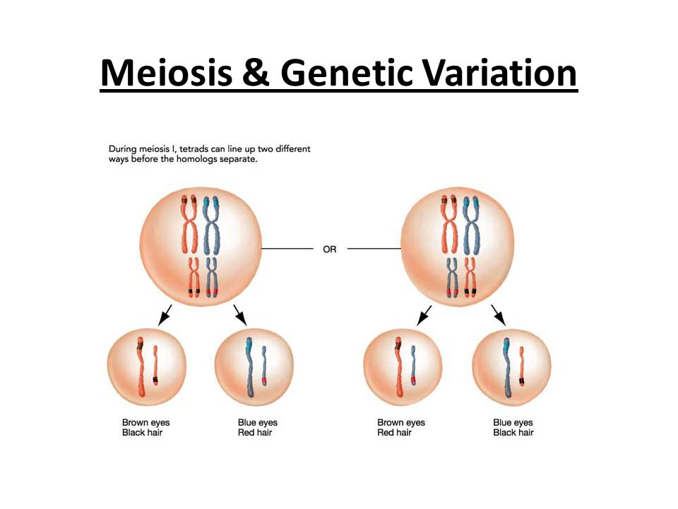meiosis and genetic variation Without genetic variation, some of the basic mechanisms of evolutionary change cannot operate there are three primary sources of genetic variation, which we will learn more about: mutations are changes in the dna a single mutation can have a large effect, but in many cases, evolutionary change is.