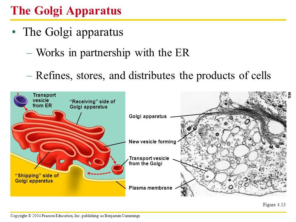 The Golgi Apparatus The Golgi apparatus