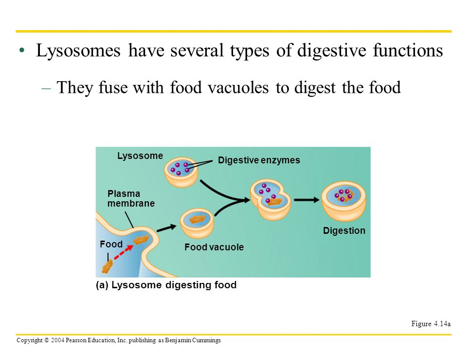 Lysosomes have several types of digestive functions