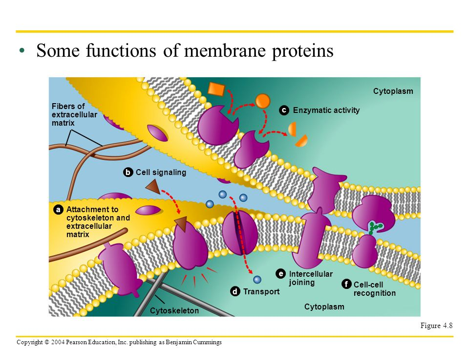 Some functions of membrane proteins