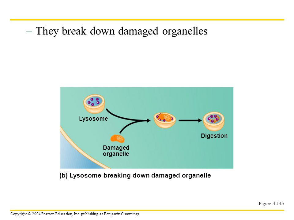They break down damaged organelles
