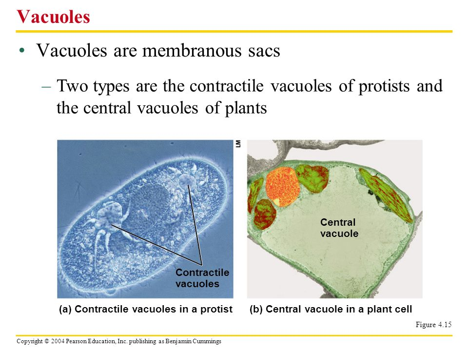 Vacuoles are membranous sacs