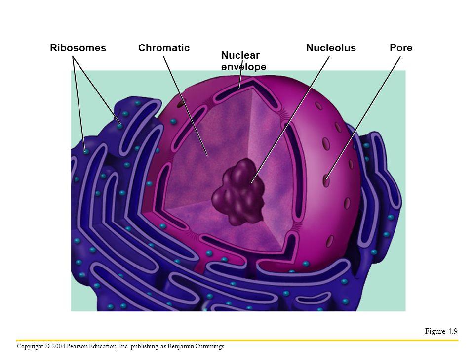 Ribosomes Chromatic Nucleolus Pore Nuclear envelope Figure 4.9