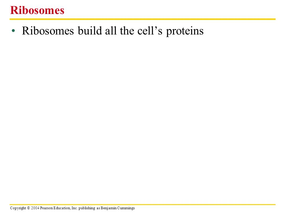 Ribosomes Ribosomes build all the cell's proteins