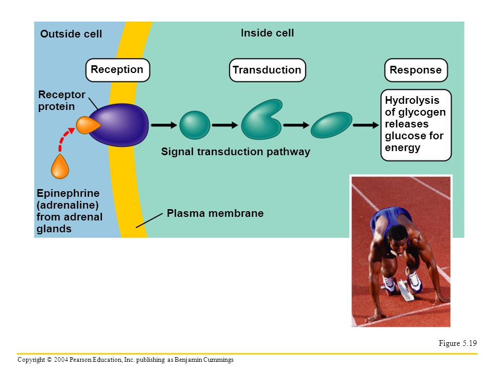 Reception Transduction Response