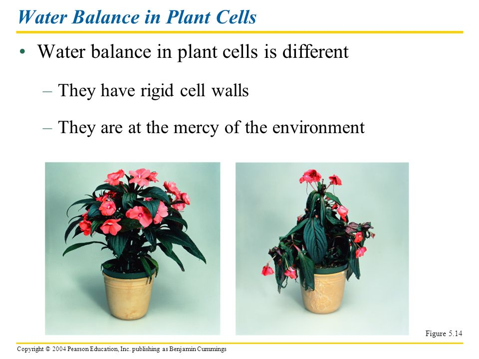 Water Balance in Plant Cells
