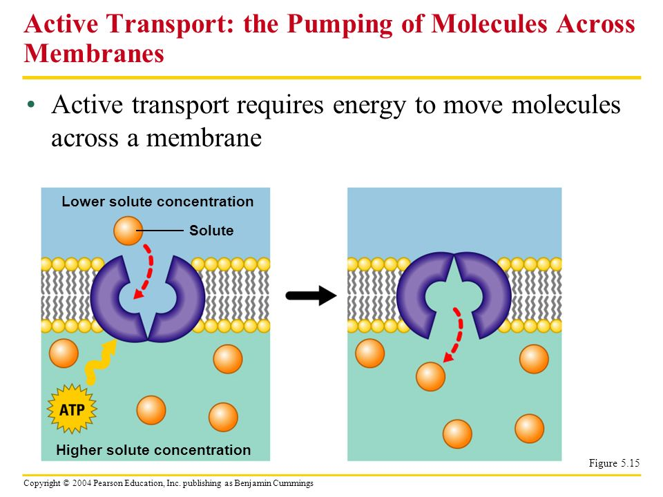 Active Transport: the Pumping of Molecules Across Membranes