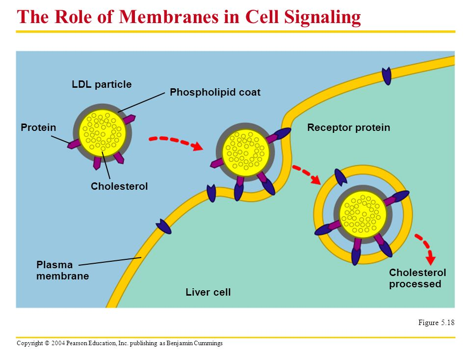 The Role of Membranes in Cell Signaling