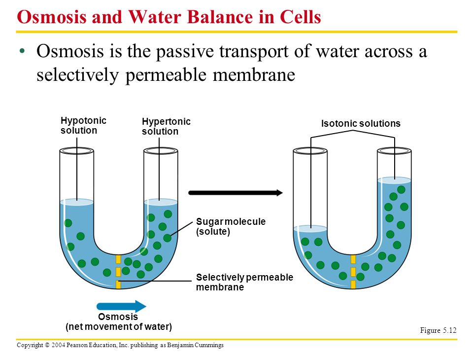 Osmosis and Water Balance in Cells
