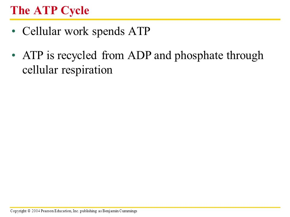 The ATP Cycle Cellular work spends ATP.
