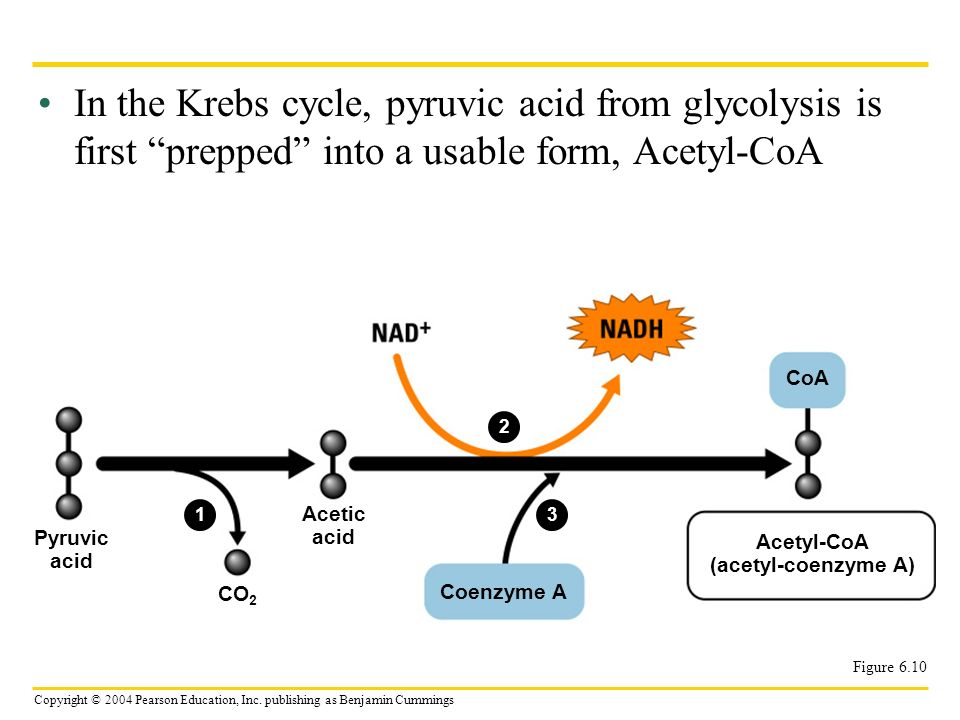 In the Krebs cycle, pyruvic acid from glycolysis is first prepped into a usable form, Acetyl-CoA