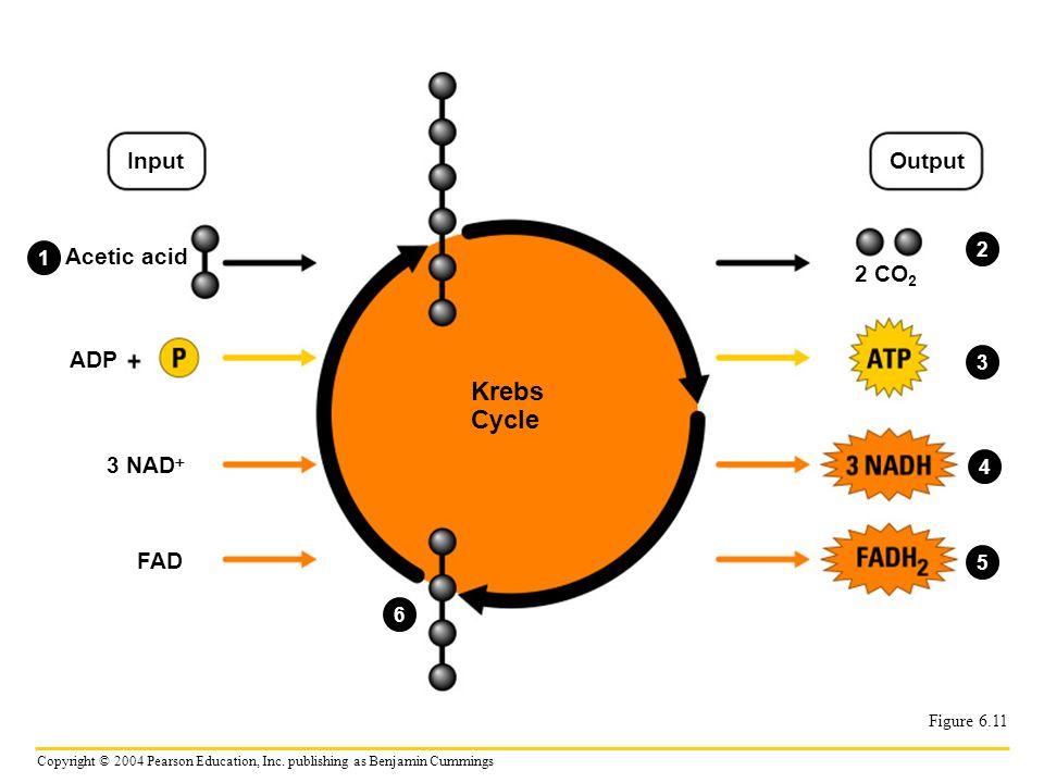 Krebs Cycle Input Output Acetic acid 2 CO2 ADP 3 NAD FAD 2 1 3 4 5 6