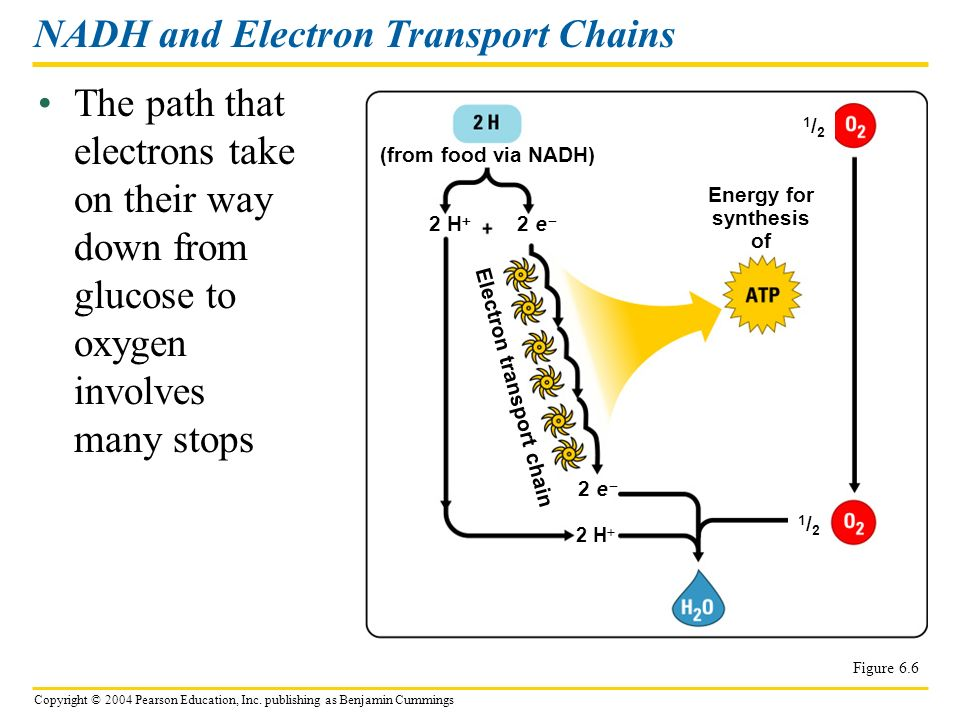 NADH and Electron Transport Chains