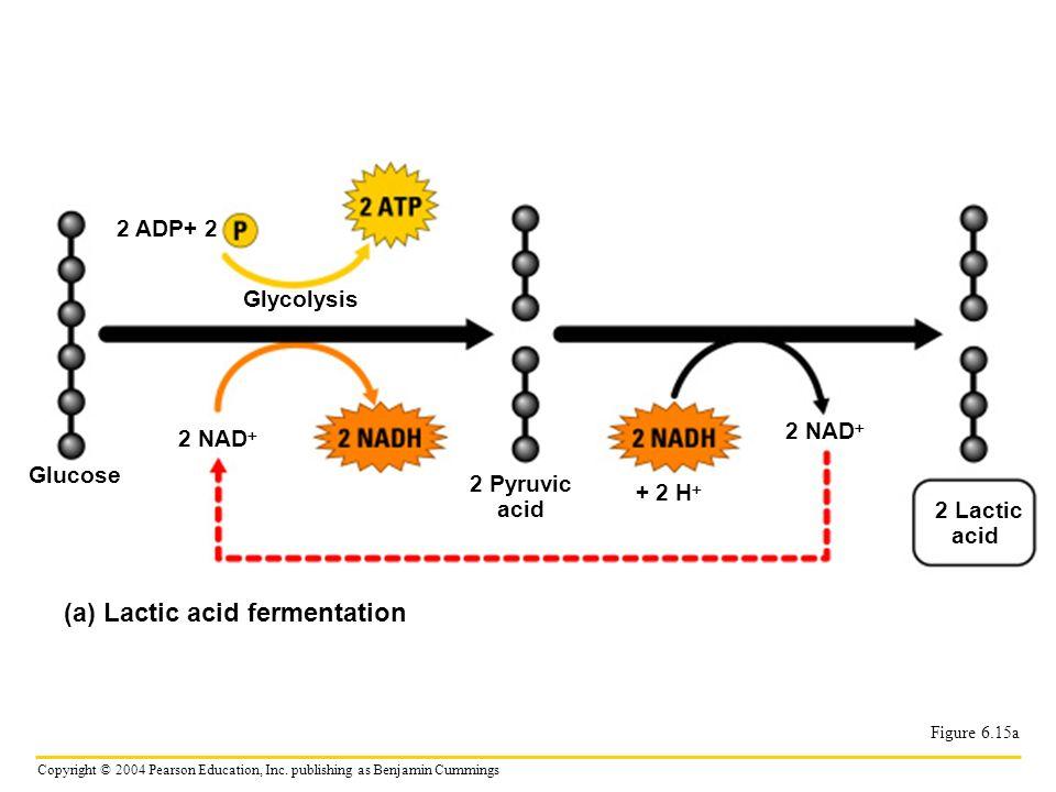 (a) Lactic acid fermentation
