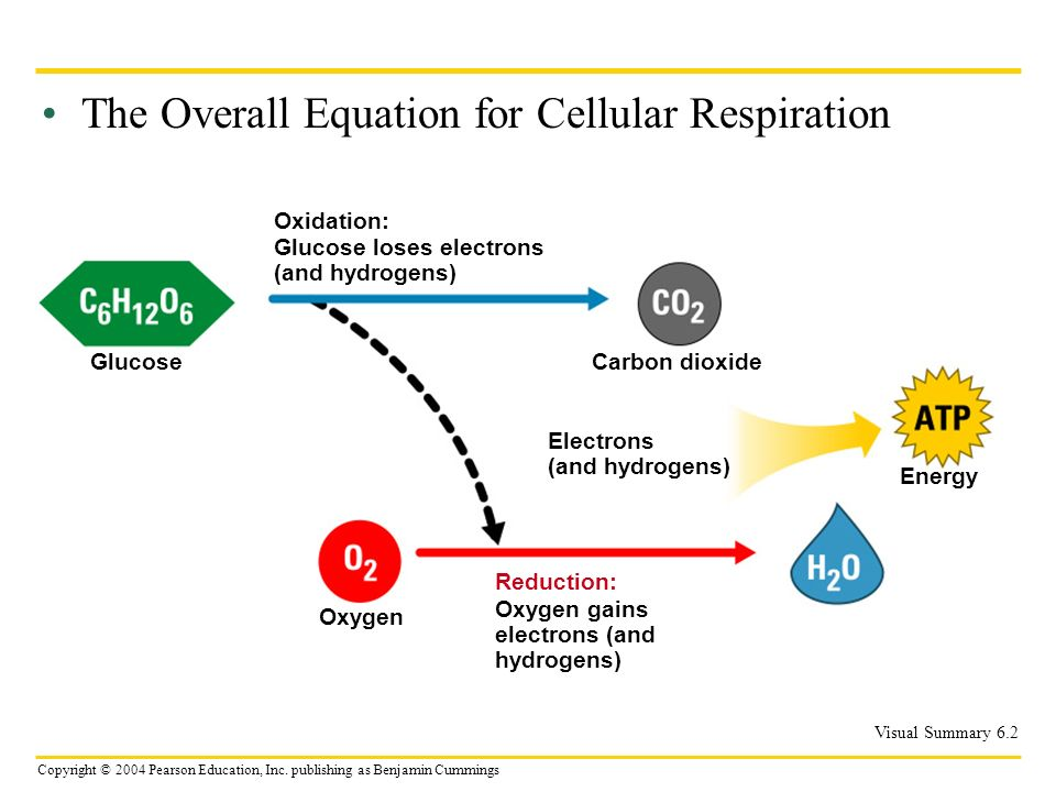 The Overall Equation for Cellular Respiration