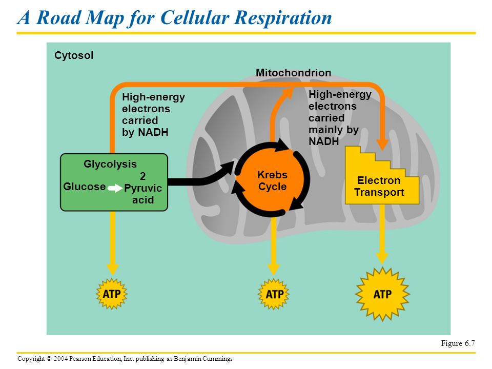 A Road Map for Cellular Respiration