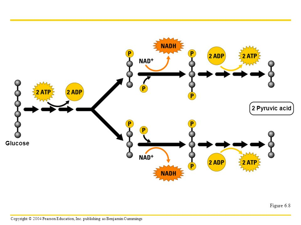 2 Pyruvic acid Glucose Figure 6.8