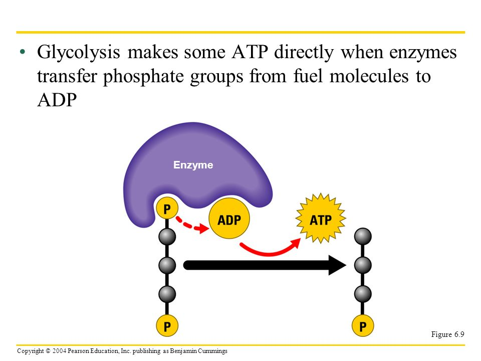 Glycolysis makes some ATP directly when enzymes transfer phosphate groups from fuel molecules to ADP