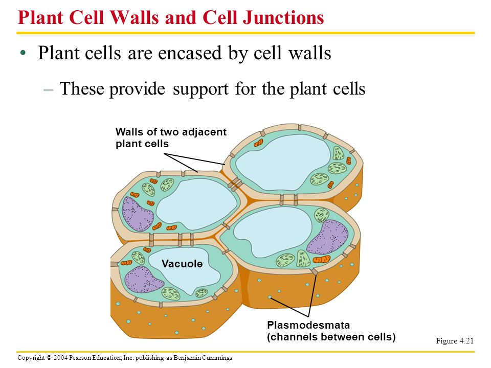 Plant Cell Walls and Cell Junctions