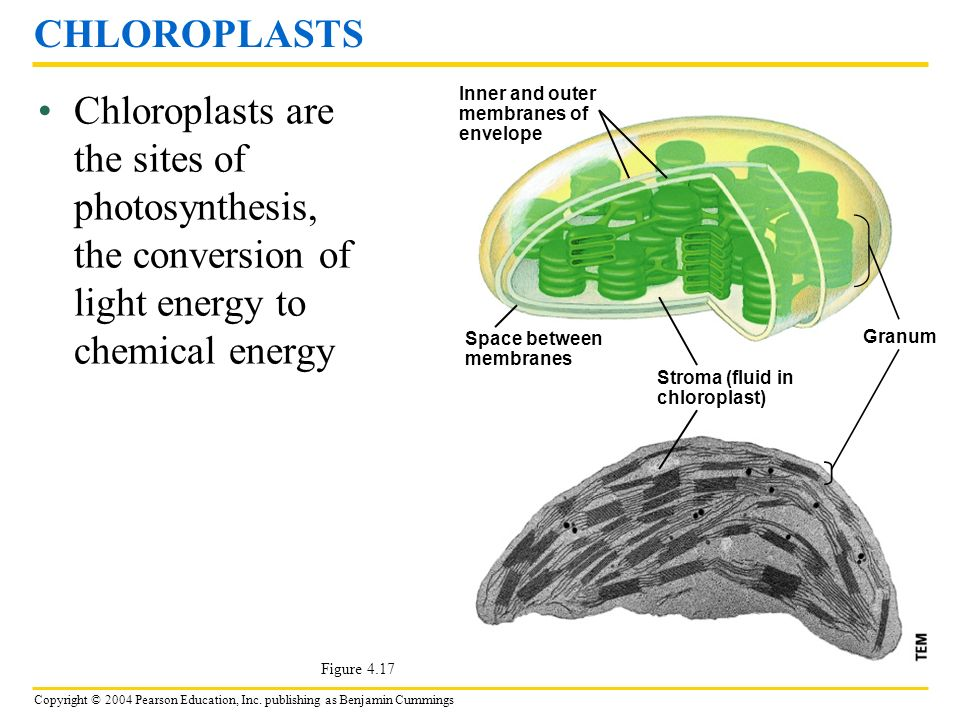 CHLOROPLASTS Chloroplasts are the sites of photosynthesis, the conversion of light energy to chemical energy.