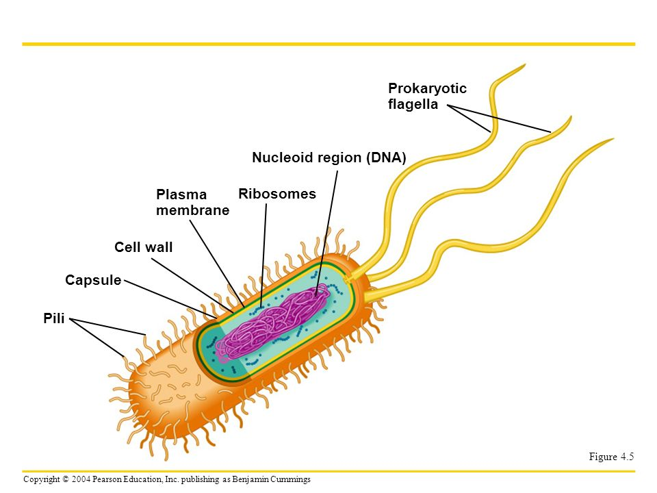 Prokaryotic flagella Nucleoid region (DNA) Plasma Ribosomes membrane