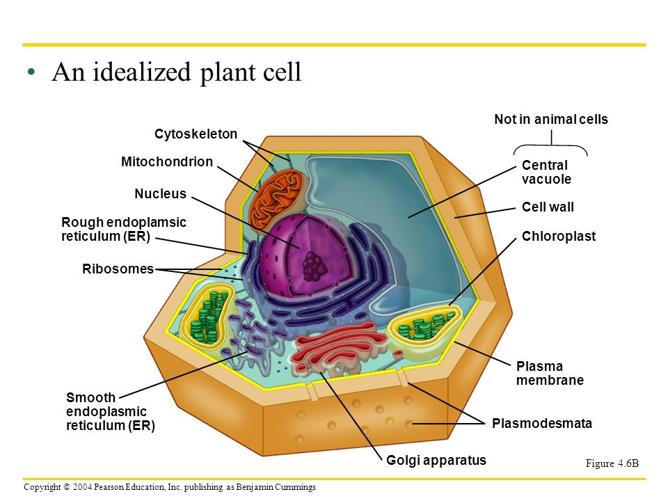 An idealized plant cell