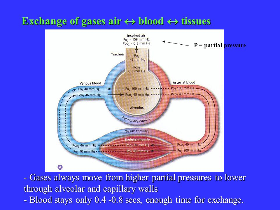 Exchange of gases air  blood  tissues