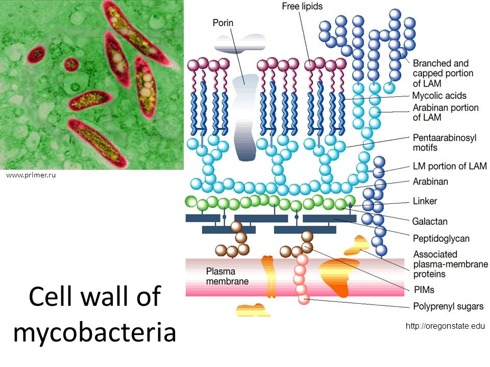 Cell wall of mycobacteria