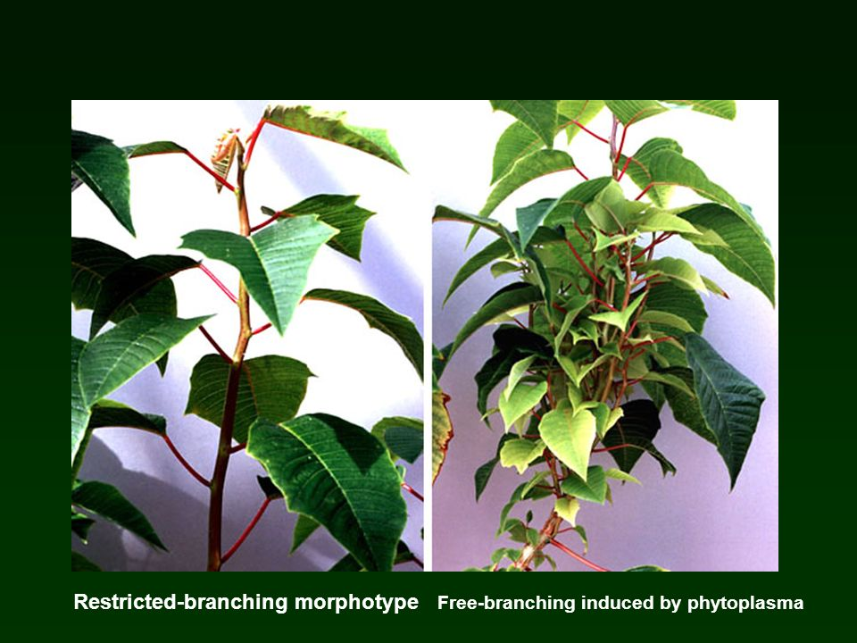 Restricted-branching morphotype