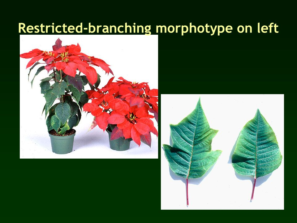 Restricted-branching morphotype on left