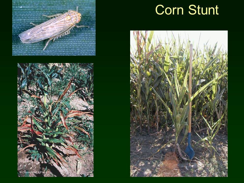 Corn Stunt