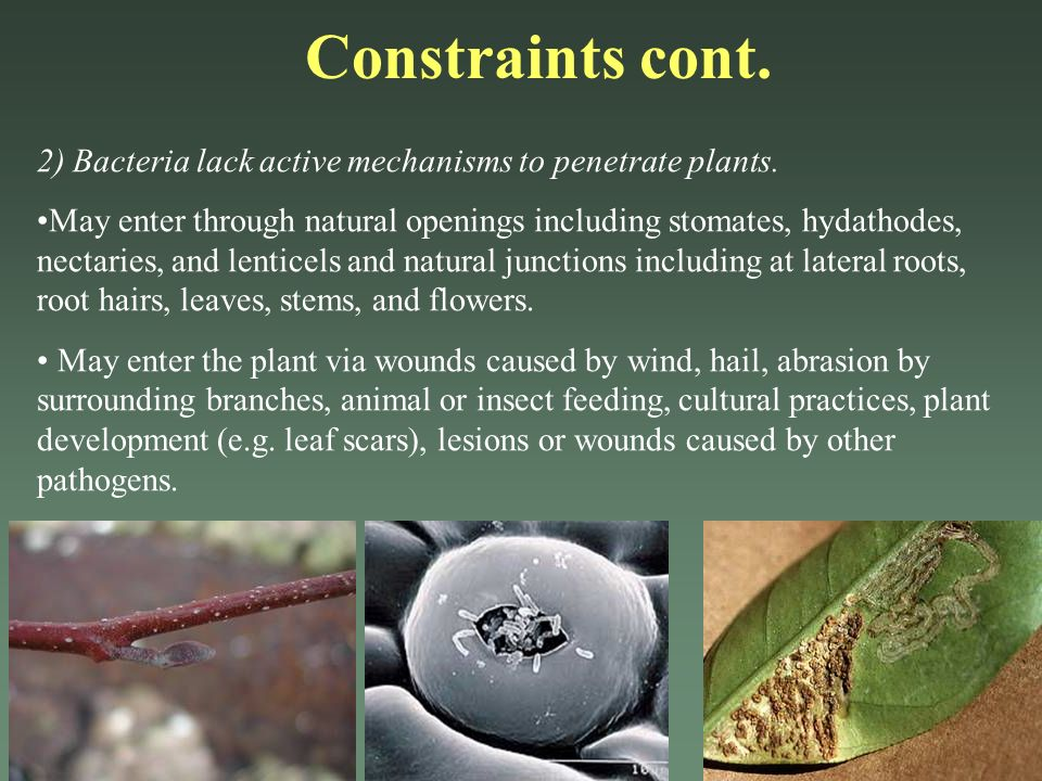 Constraints cont. 2) Bacteria lack active mechanisms to penetrate plants.