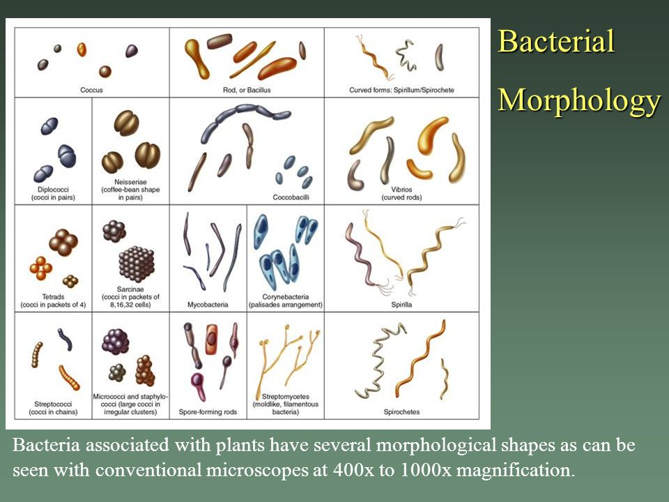 Bacterial Morphology.