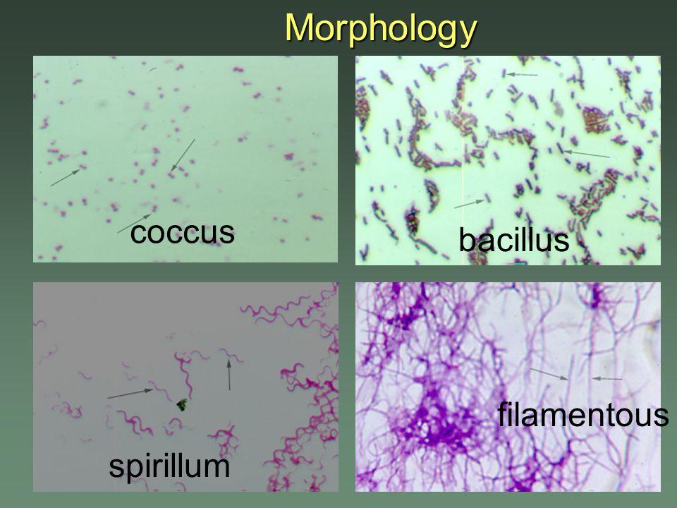 Morphology coccus bacillus filamentous spirillum