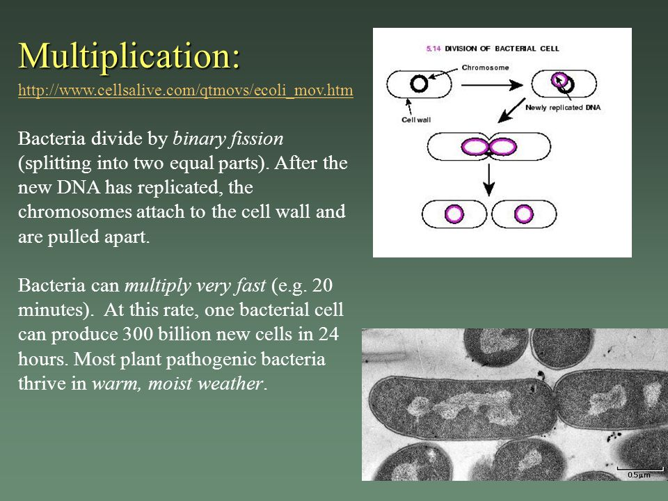 Multiplication: http://www.cellsalive.com/qtmovs/ecoli_mov.htm