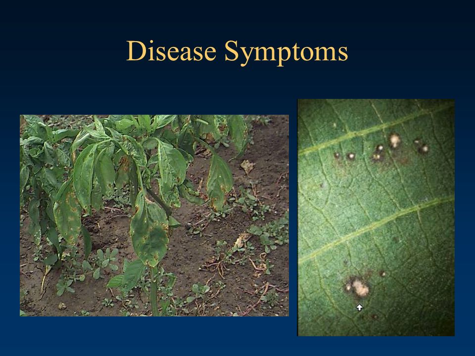 Disease Symptoms Bacterial Spot of Pepper Casual agent