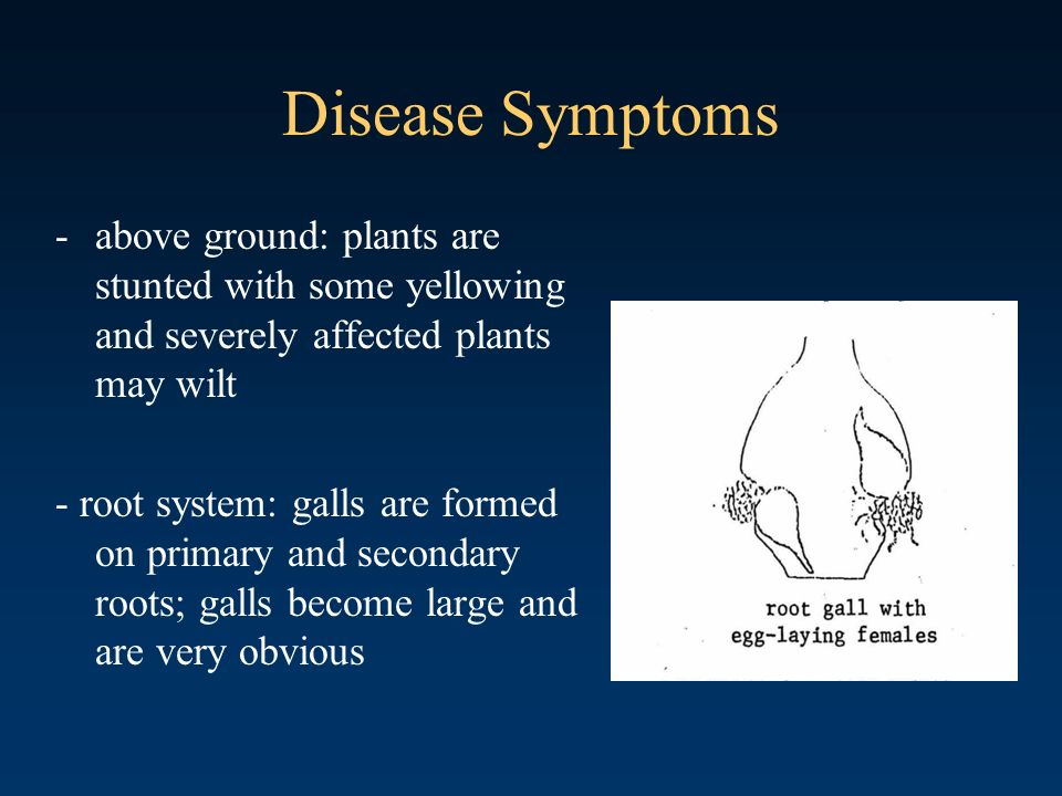 Disease Symptoms above ground: plants are stunted with some yellowing and severely affected plants may wilt.