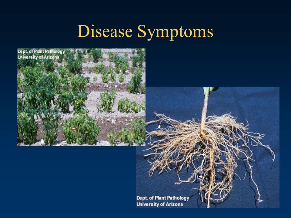 Disease Symptoms Field symptoms caused by Meloidogyne incognita, root knot nematode