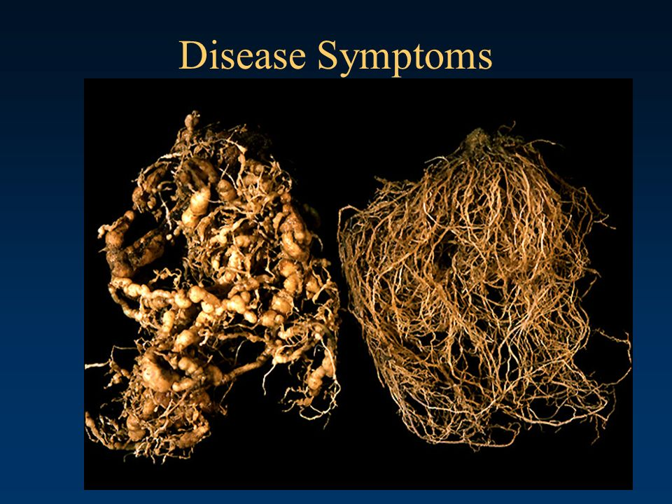 Disease Symptoms Root system heavily galled by root-knot nematode on the left and a health root system on the right.