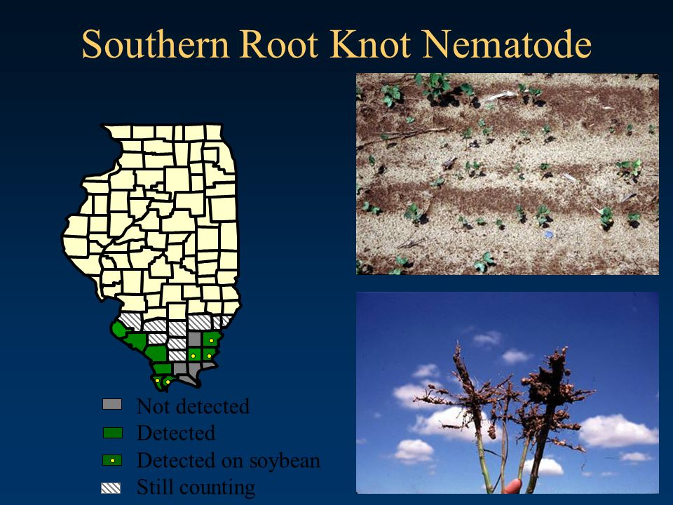 Southern Root Knot Nematode