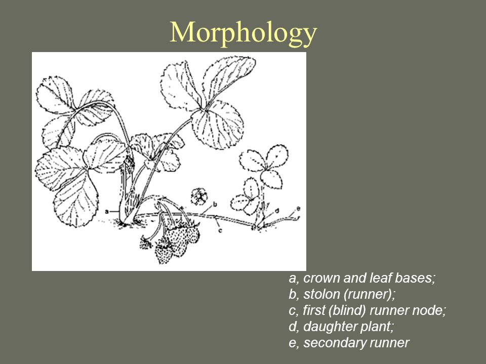 Morphology a, crown and leaf bases; b, stolon (runner);