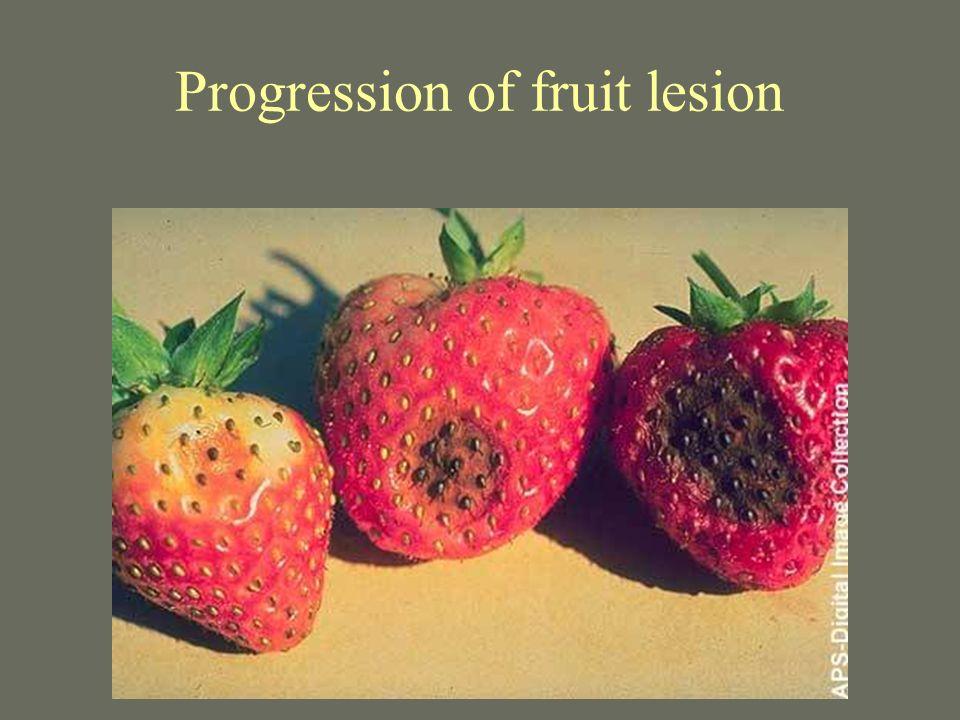 Progression of fruit lesion