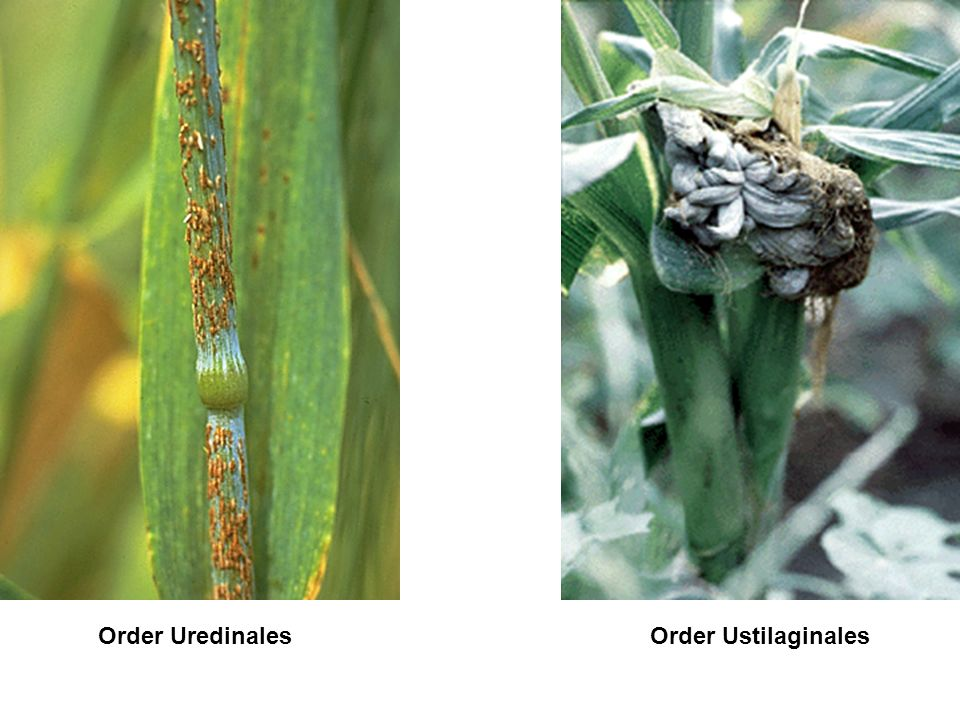 Order Uredinales Order Ustilaginales