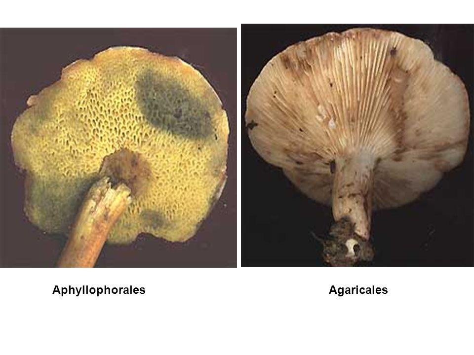 Aphyllophorales Agaricales