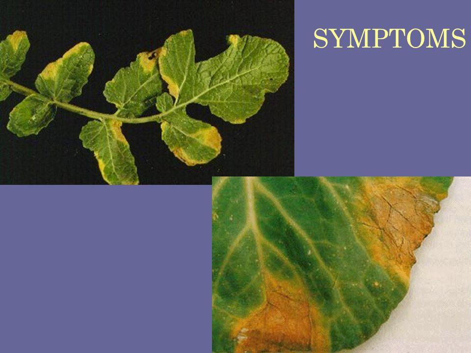 SYMPTOMS Black rot of radish Xanthomonas campestris pv. campestris