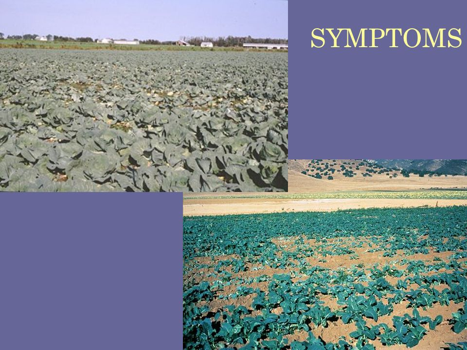 SYMPTOMS Wilting and stunting resulting from clubroot…cabbage